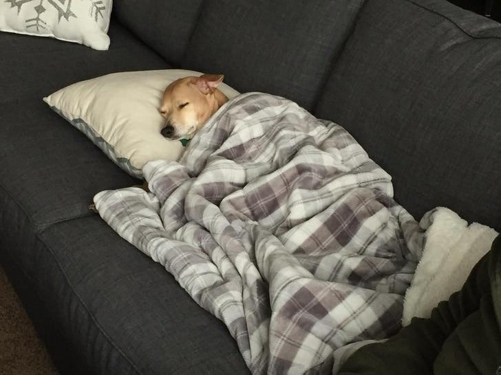 собака спит под одеялом