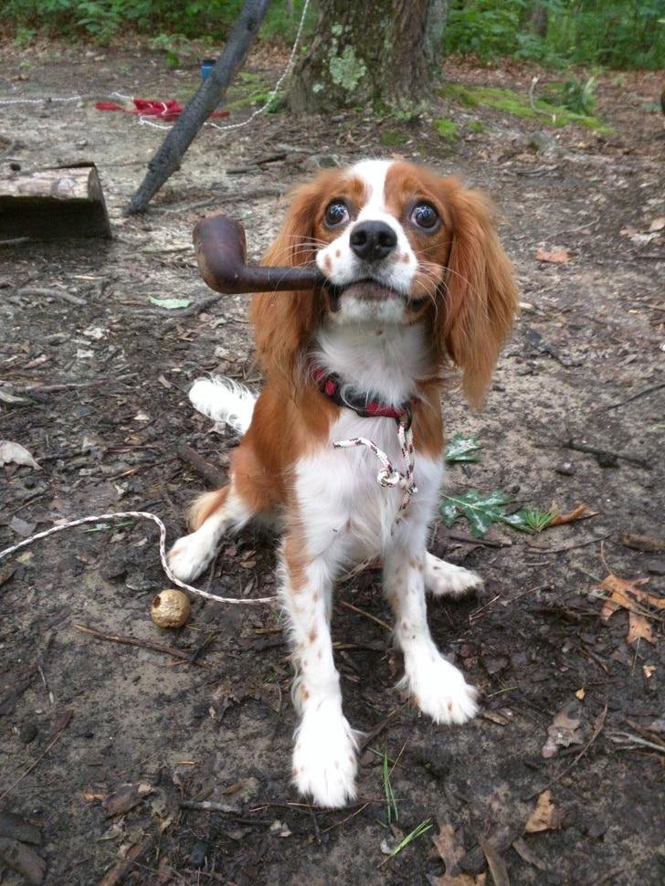 собака с трубкой во рту