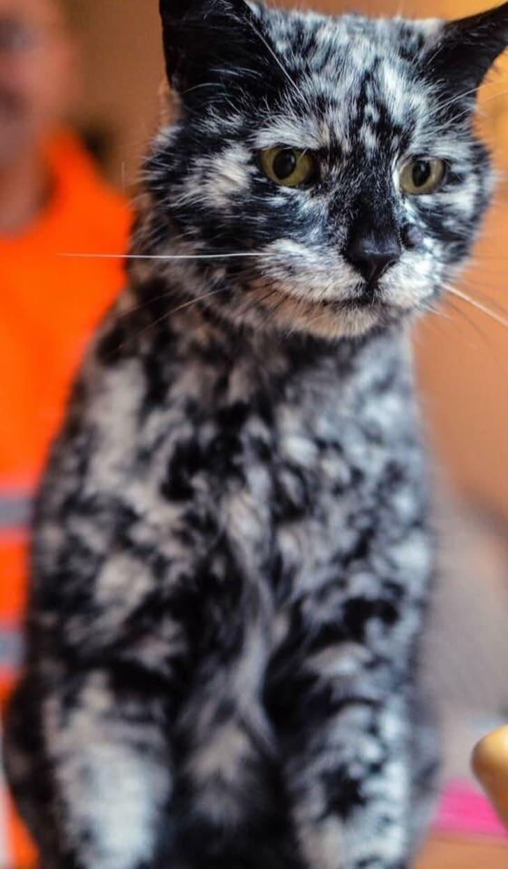 черный кот с витилиго