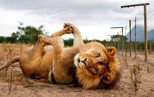 лев лежит на спине