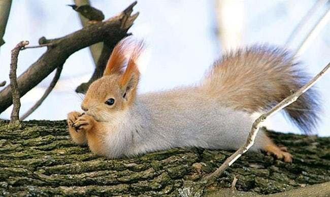белка лежит на дереве