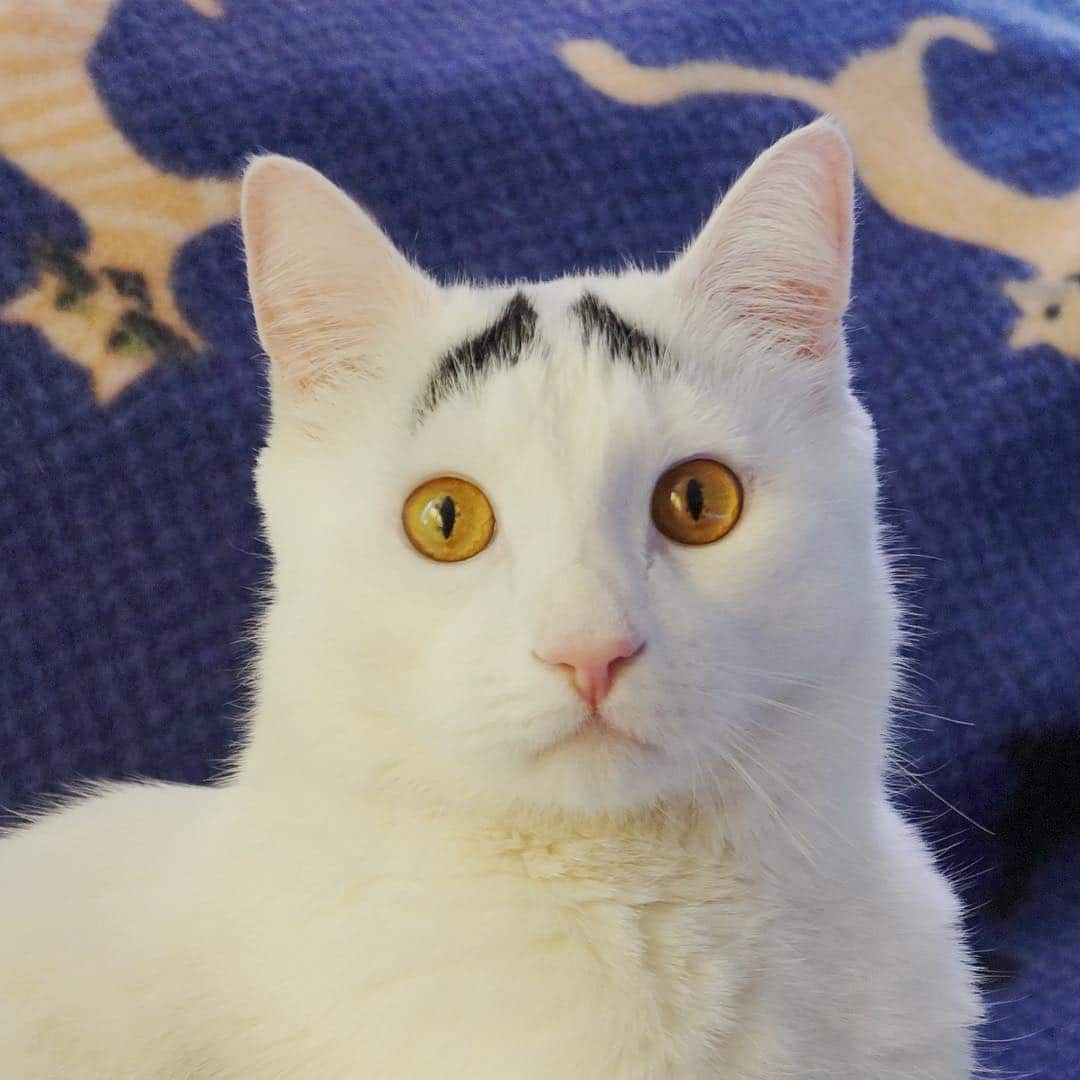 белый кот с бровями