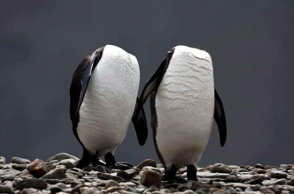 пингвины без головы