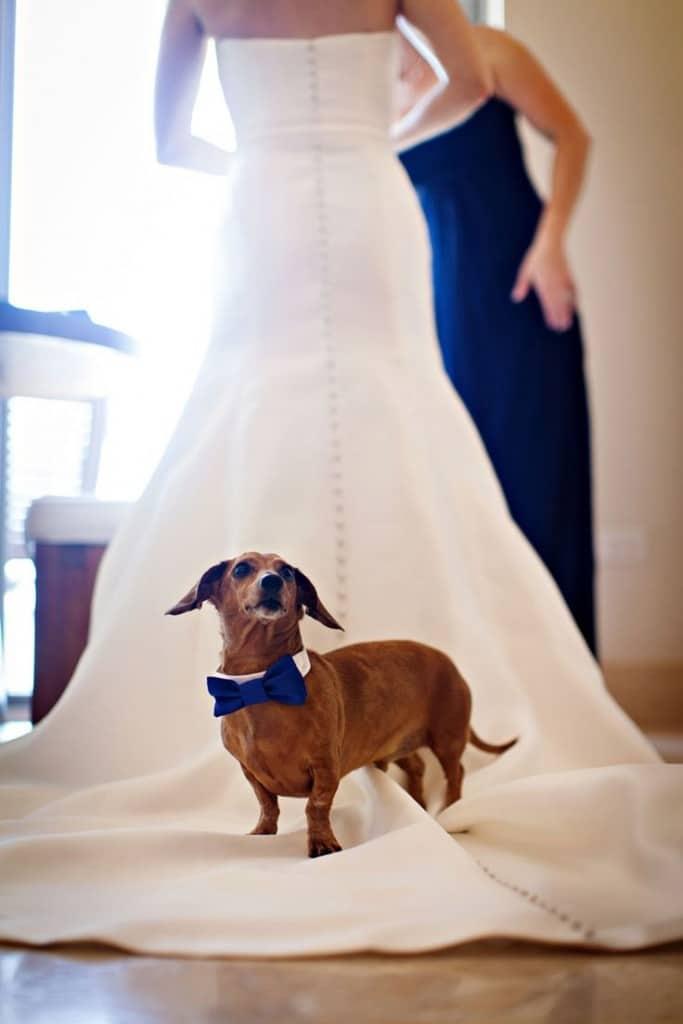 собака на свадебном платье невесты