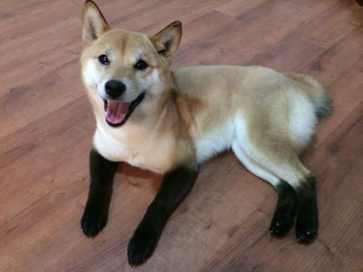 собака с черными лапами