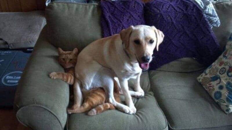 пес лежит на коте