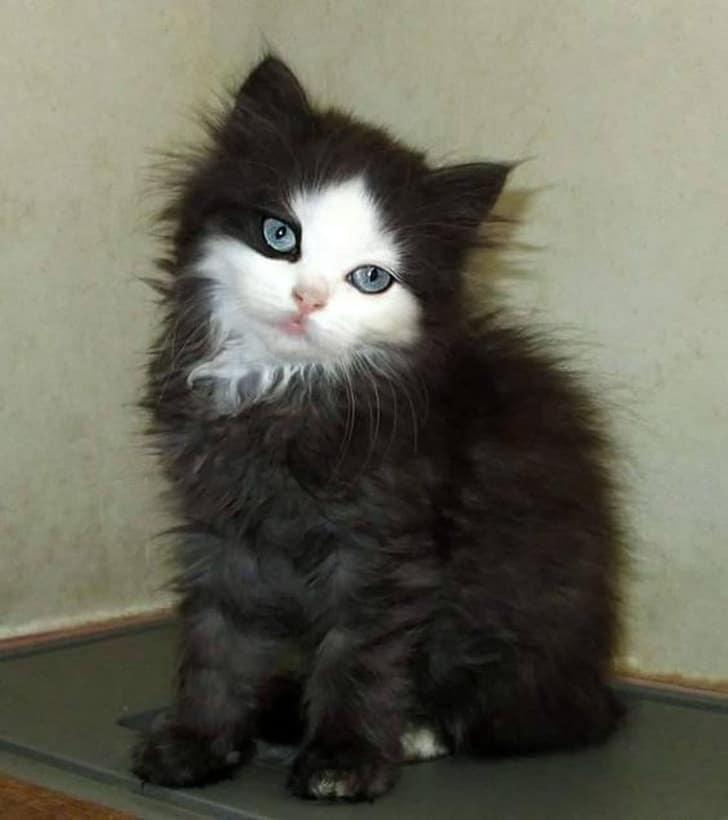 черный котенок с белой мордочкой