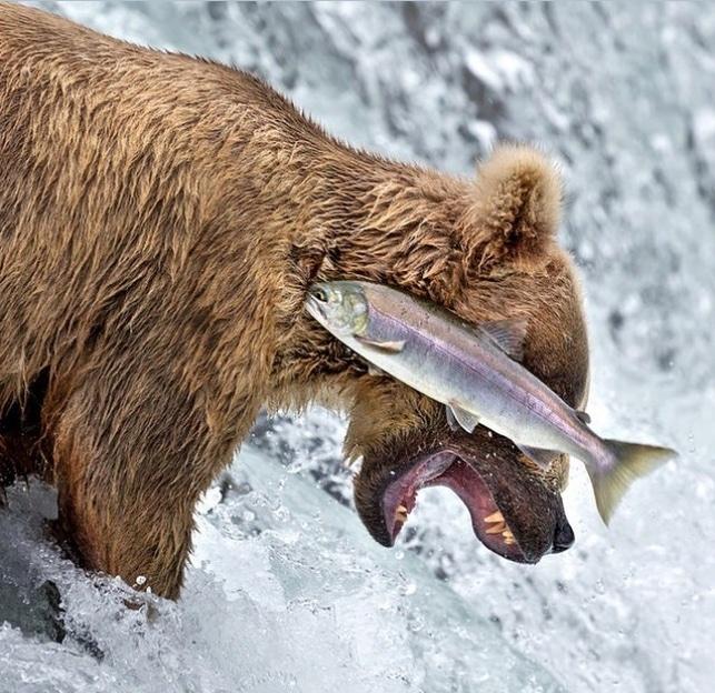 медведь и форель
