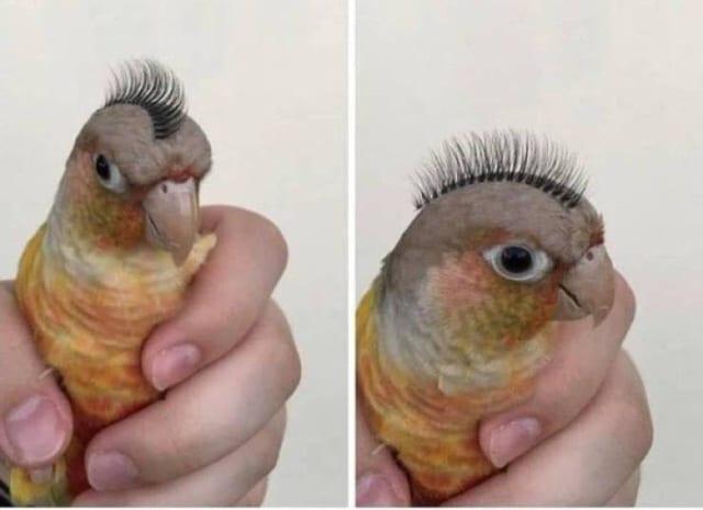 попугай с ирокезом