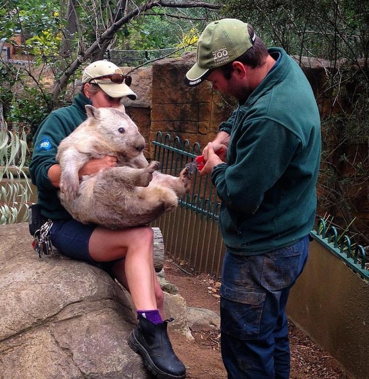 мужчина стрижет когти вомбату