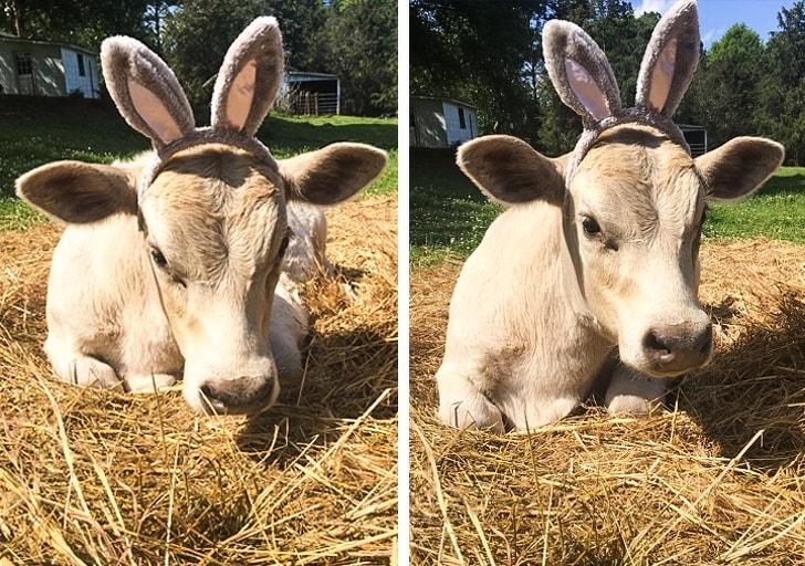 теленок с заячьими ушами