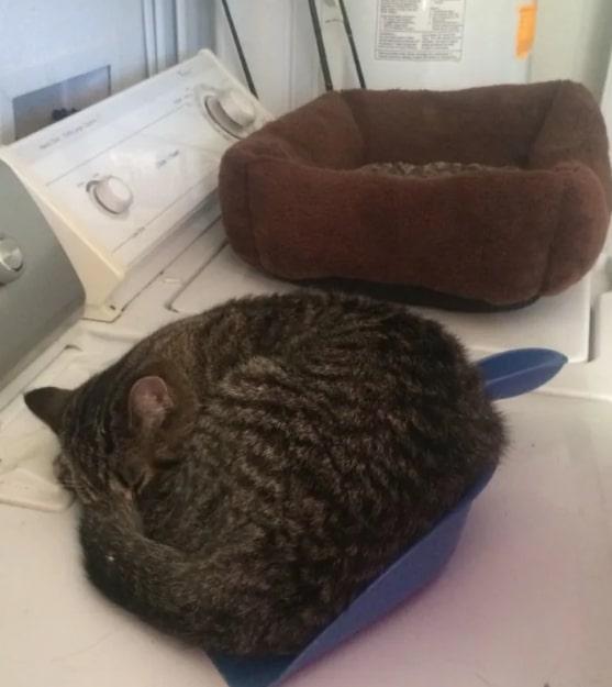 полосатый кот спит в совке