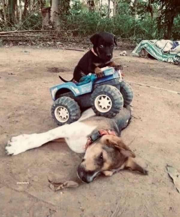 щенок на машинке переехал собаку