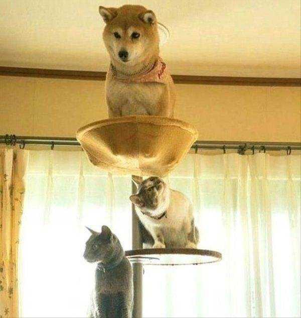 шиба ину и коты