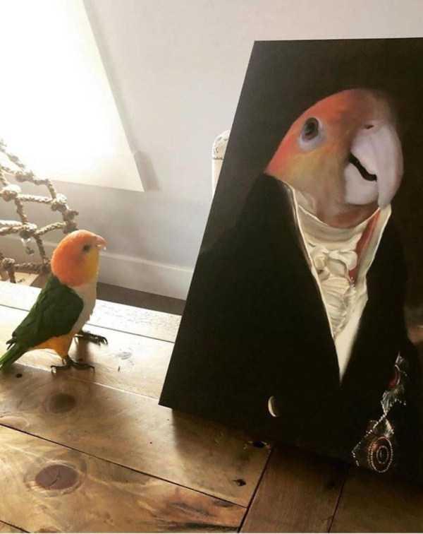 попугай смотрит на свой портрет