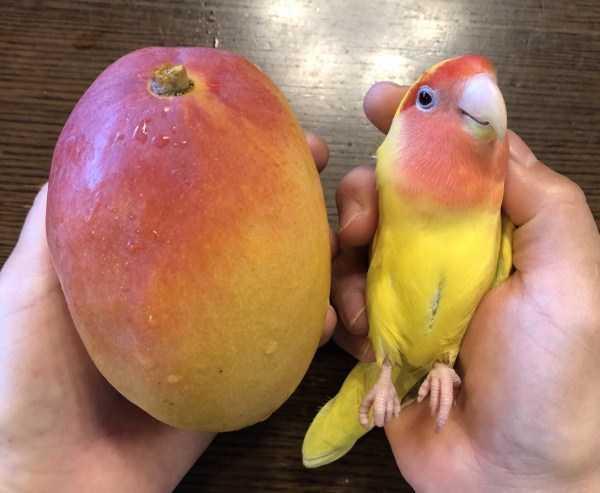 попугай и манго