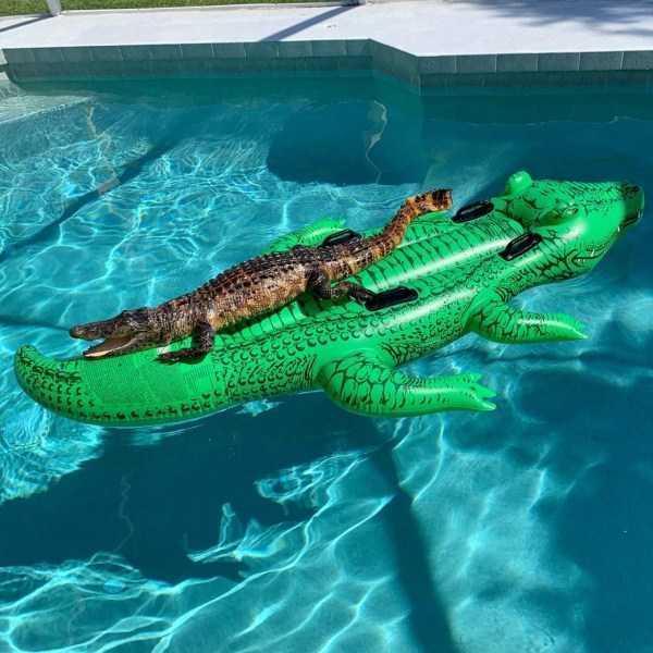 крокодил на надувном крокодиле в бассейне