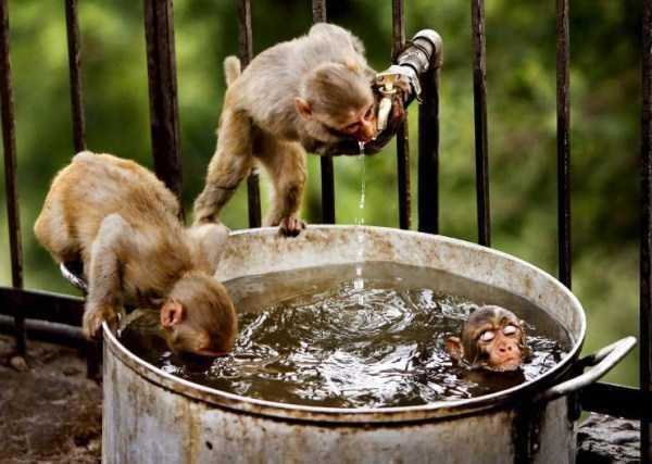 обезьяны пьют воду из кастрюли