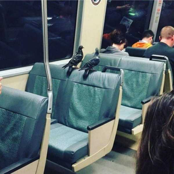 голуби в вагоне метро