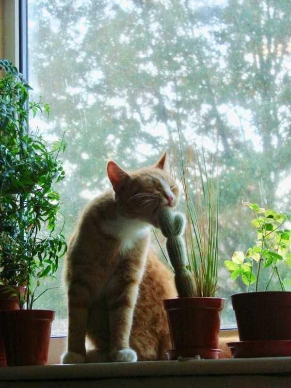 рыжий кот кусает кактус