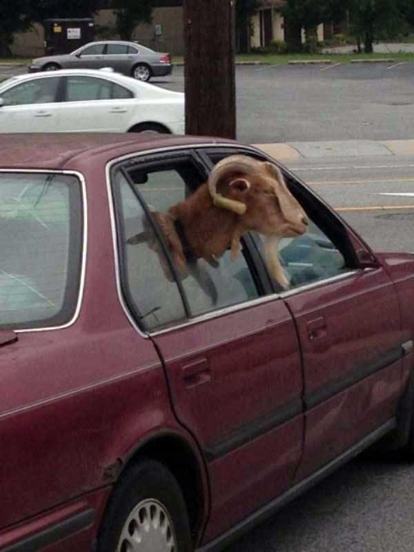 баран в окне машины