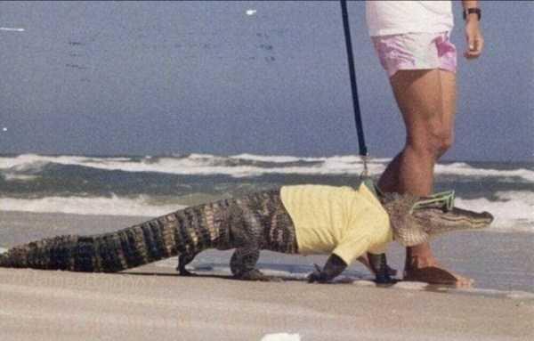 крокодил в очках на поводке