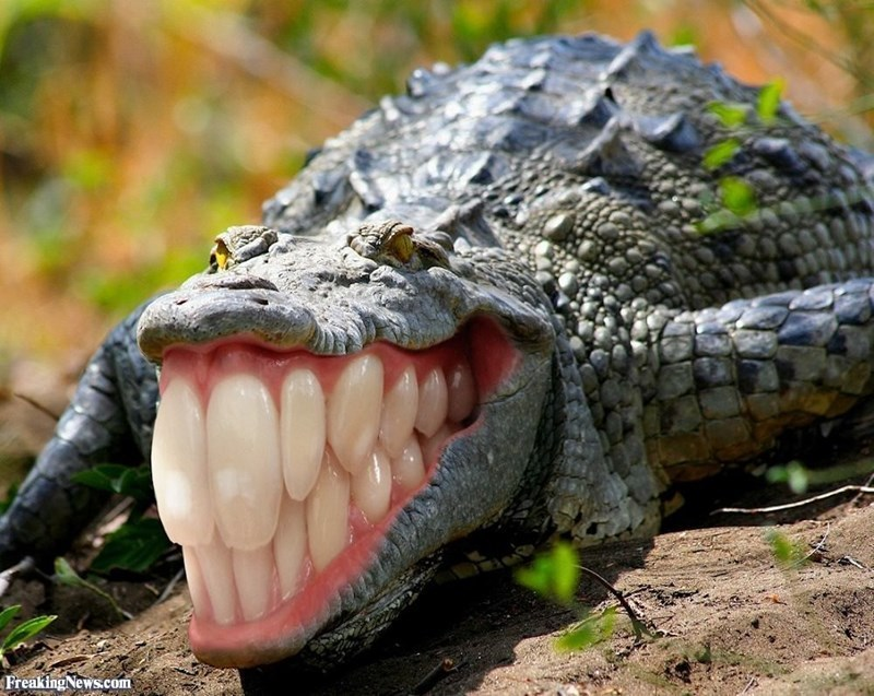 крокодил с зубами