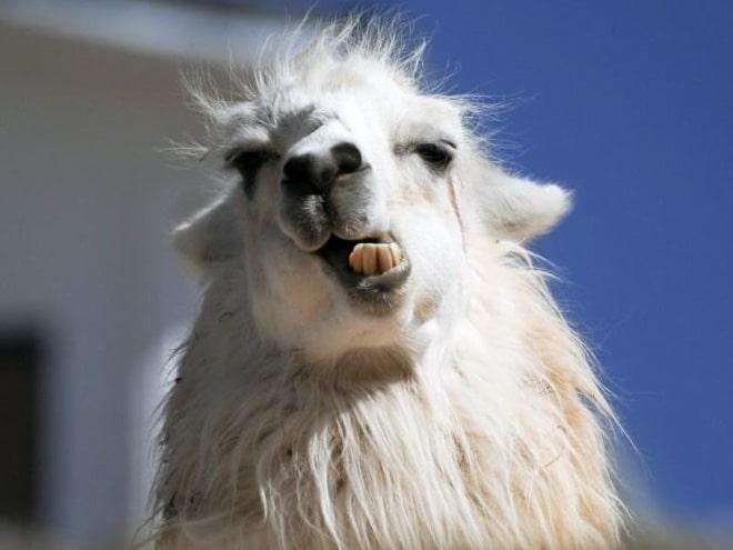 фото ламы