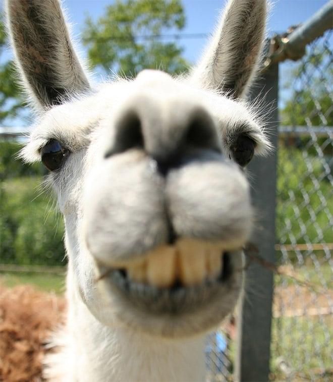 лама улыбается