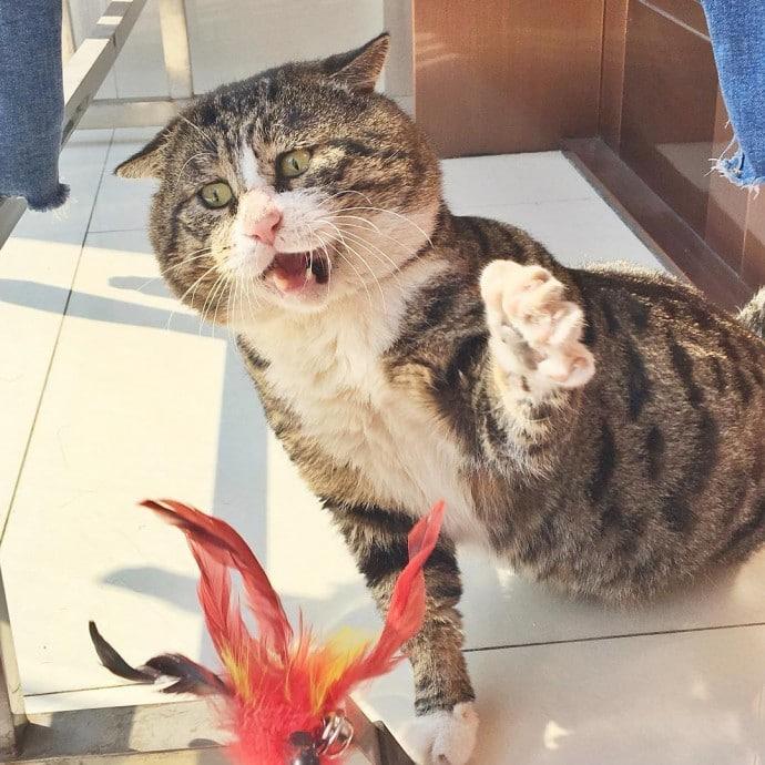 полосатый кот играет