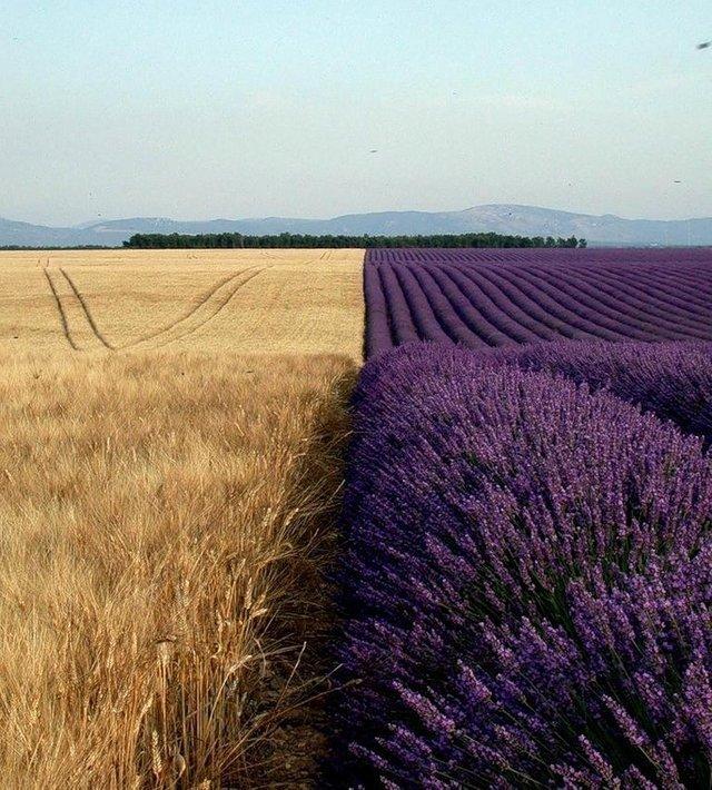 пшеничное и лавандовое поле