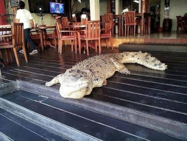 крокодил в кафе