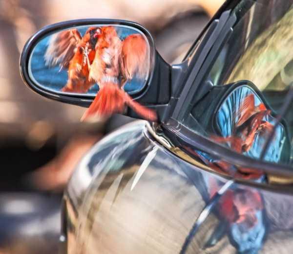 птица смотрит в зеркало автомобиля