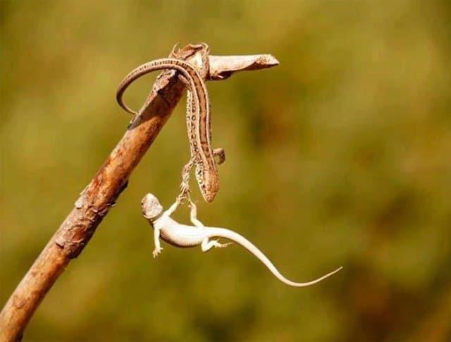 ящерицы на палке