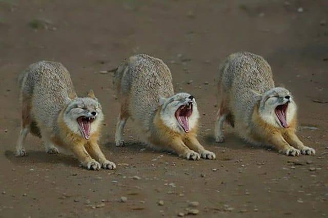 волки зевают