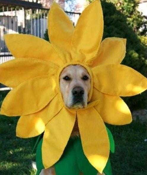 собака в костюме цветка