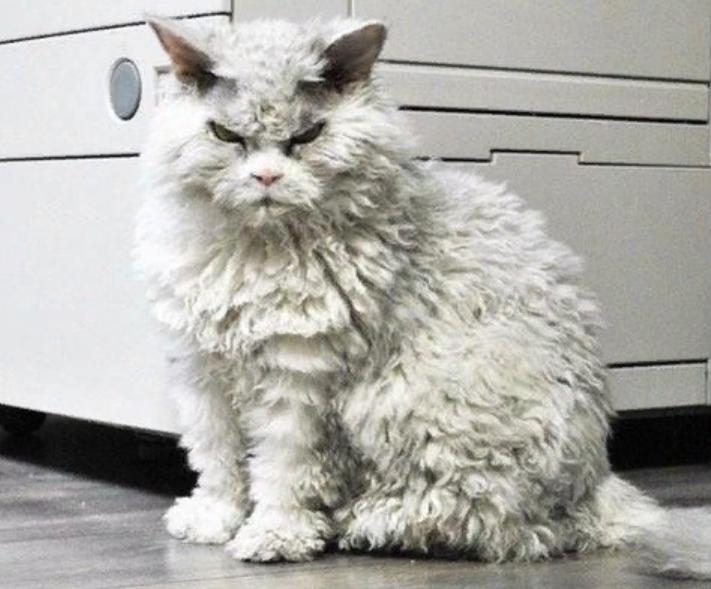 кучерявый кот