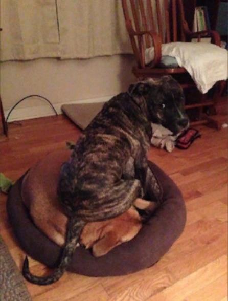 пес сидит на другой собаке