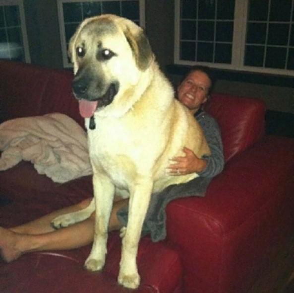 пес сидит на женщине