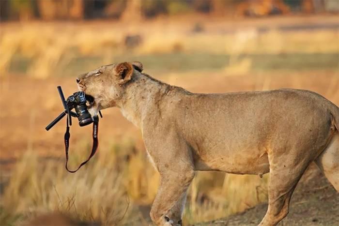 львица с фотоаппаратом в зубах