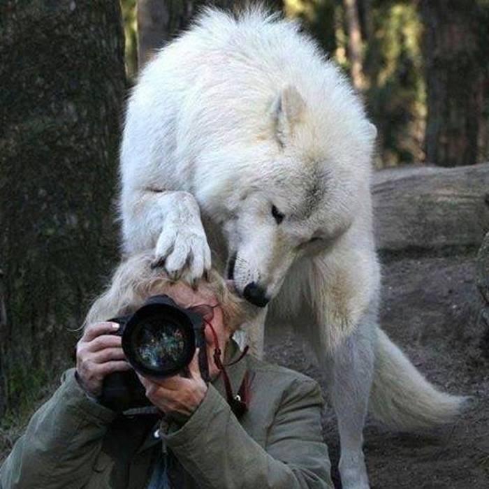 волк за спиной у фотографа