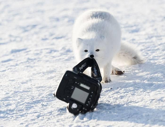песец с фотоаппаратом
