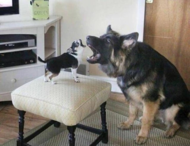 овчарка и щенок