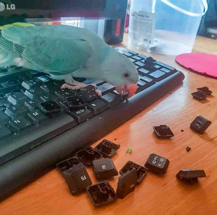 попугай клюет клавиатуру