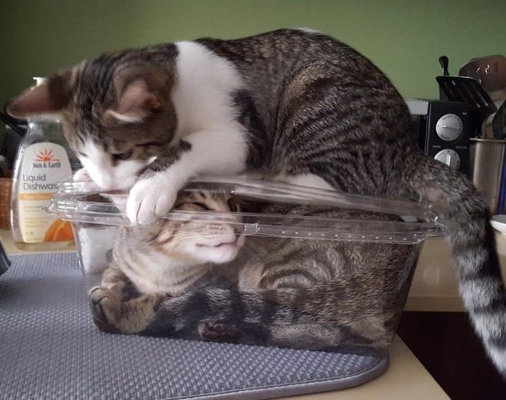 полосатые коты