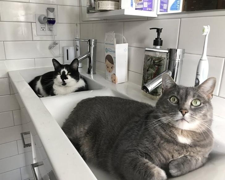 коты сидят в раковине