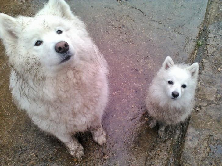 белые собаки в грязи