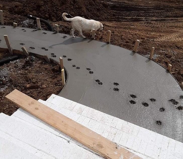 лабрадор оставил отпечатки в цементе