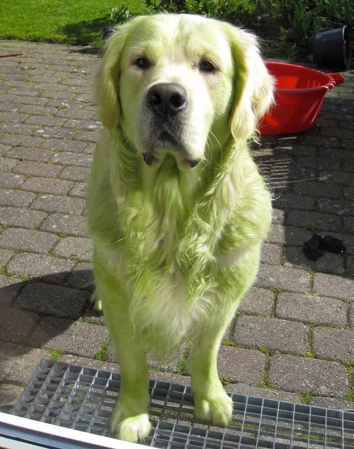 золотистый ретривер зеленого цвета