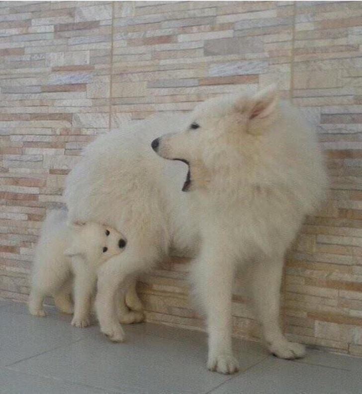 щенок кусает собаку за ногу